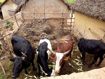 マダガスカルのゼブ牛