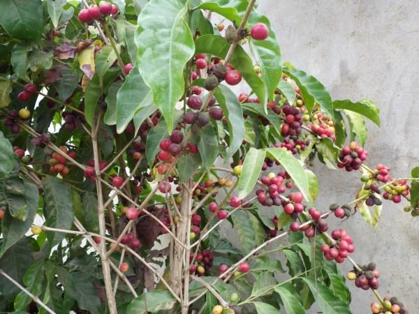 マダガスカルのコーヒー