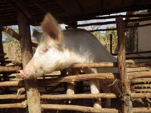 マダガスカルの豚