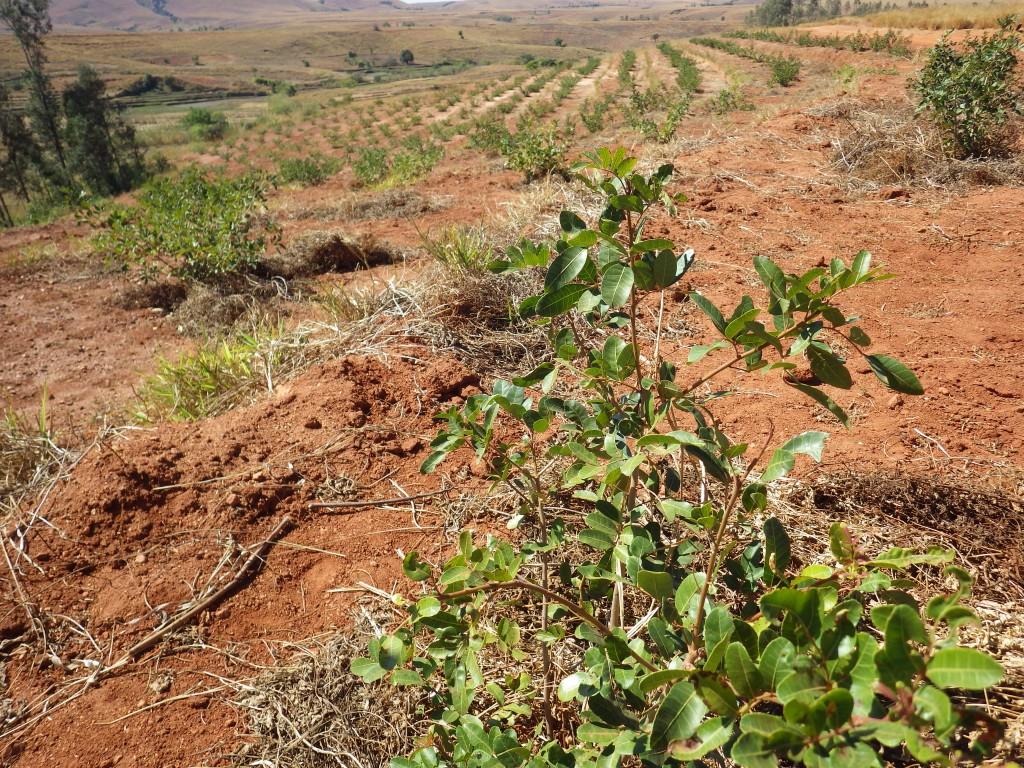 赤コショウの畑